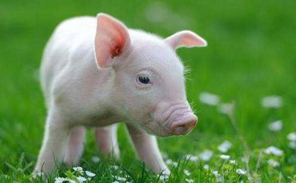 猪习性.jpg